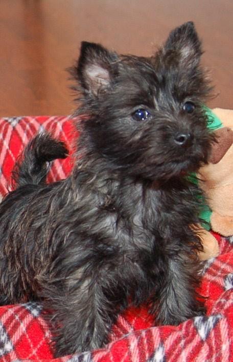 Cairn Puppies