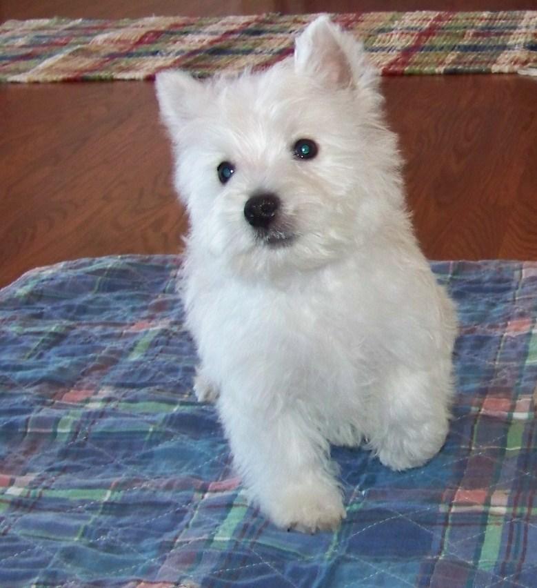 Myrt: West Highland White Terrier - Westie puppy for sale near California USA